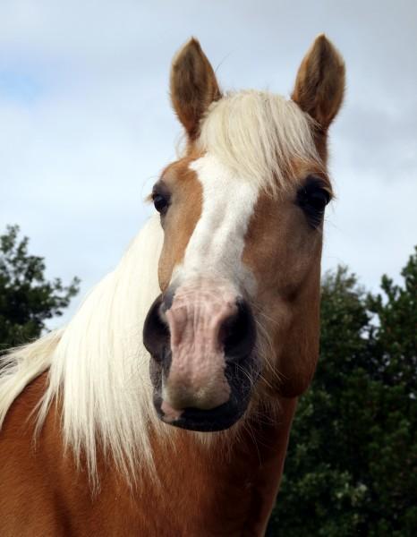 profil portraet hest hingst vallak tot