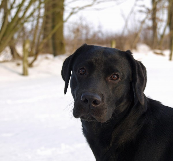 hund portraet i sneen