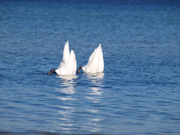 vand nordsoen saltvand havet svane ostersoen