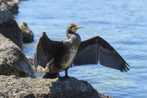 great black cormorant phalacrocorax carbo