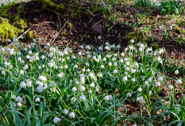 forårsknudeblomst, i, skoven - 28215538