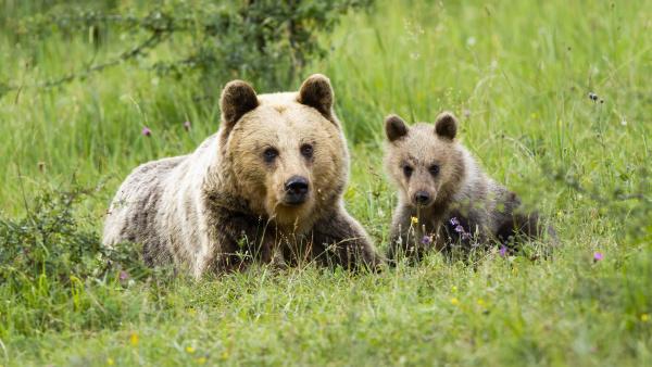 hun, brun, bjørn, liggende, på, jorden - 28216852