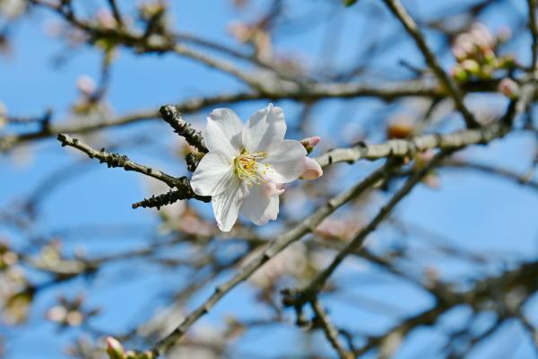 blomster, på, mandeltræ, alicante, provinsen, costa - 28217284