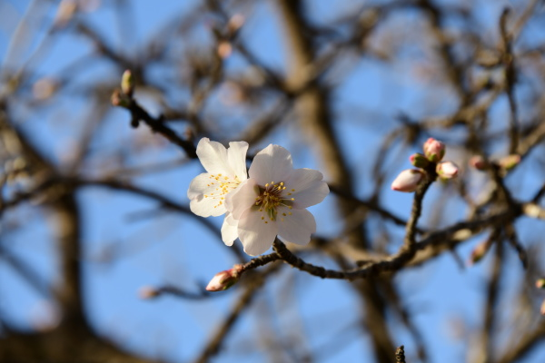 blossoms, on, almond, tree, , alicante - 28217142