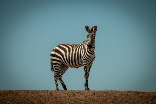 plains, zebra, stands, facing, camera, on - 28257658