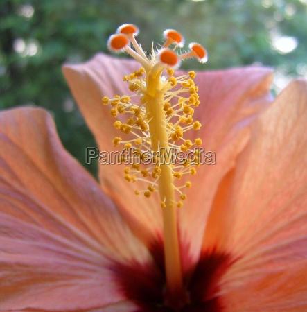 hibiscus bluete