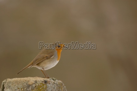 fugl brun fugle kaukasisk hvid europid