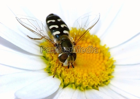 hoverfly om marguerite