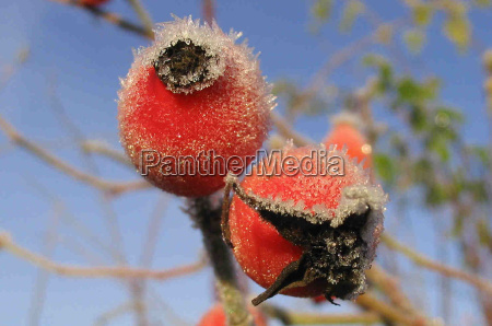 rosehip in the frost