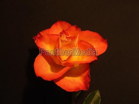 blomst rose plante blomstre blomstrende blomster
