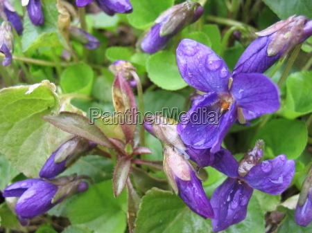 violet viola