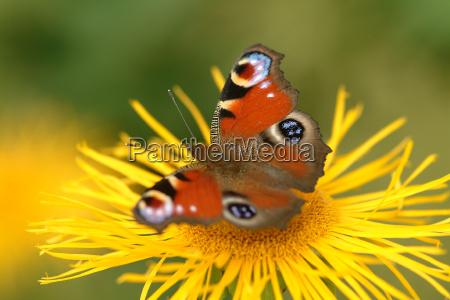 butterfly pa blomst 8