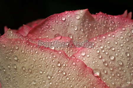 rose draber