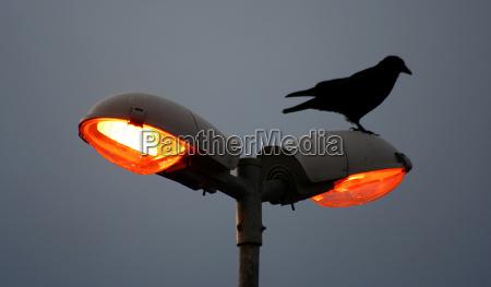 fugl fugle lanterne lampe morgen ravn