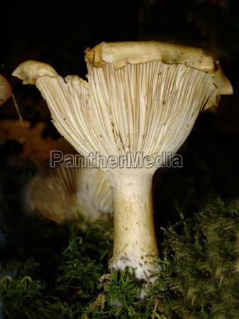 svampe gra skov falde efterar