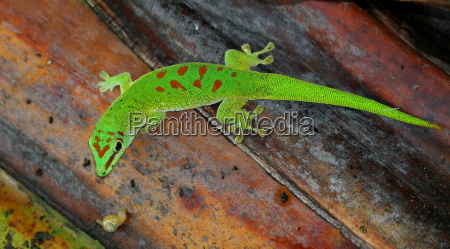 day gecko 3