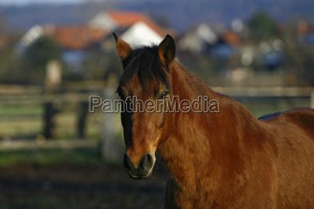 profil hest brun heste om aftenen