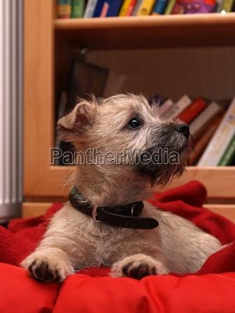 cairn terrier hvalp