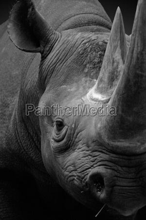 rhino portraet