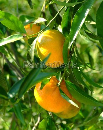 appelsin vitamin trae gron gront gronne