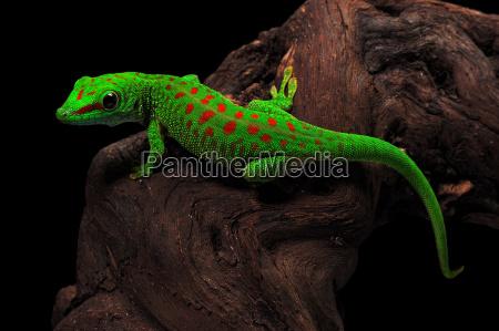 madagaskar dag gekko