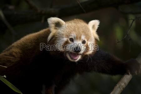 lille panda