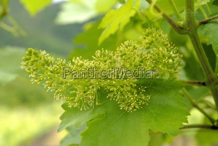 wine blossom