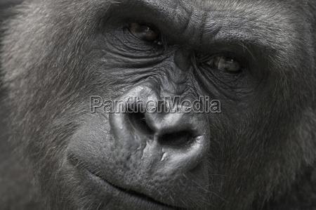gorillaer face