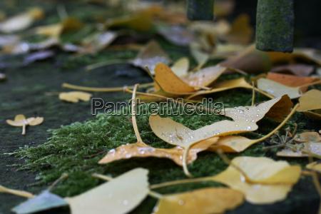 gingko blade