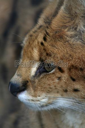 serval in profile