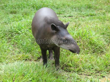 tapir tapirus terrestris