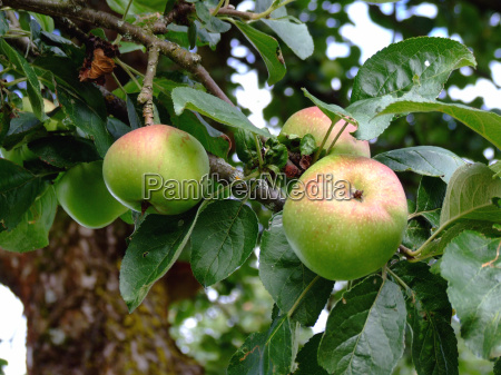 vitaminer landbrug aebletrae frugt traefrugt aebler