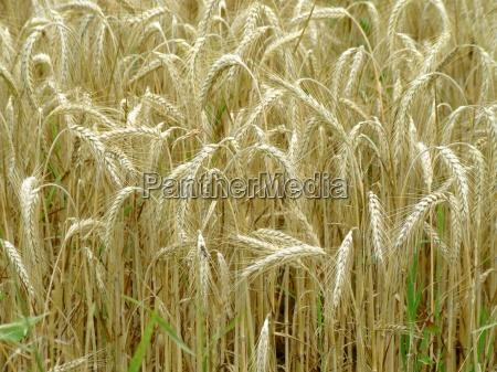 brod landbrug mark hvede ore mel