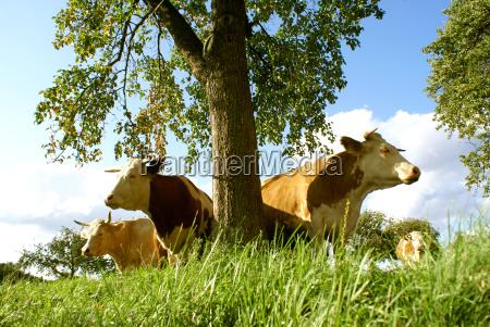 trae landbrug lys solbeskinnet ko koer