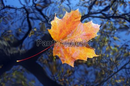 blad spejling ahorn specularly abstrakt reflekterende
