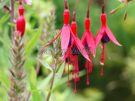 blomst plant plante blomstre blomstrende fuchsia