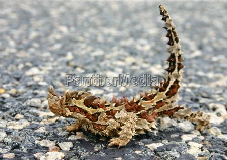 dyr krybdyr brun firben australien down