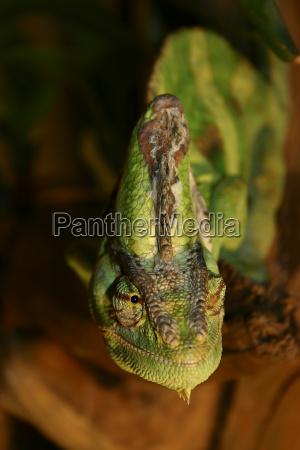 reptil lagarto olhos ver casebre mitologia