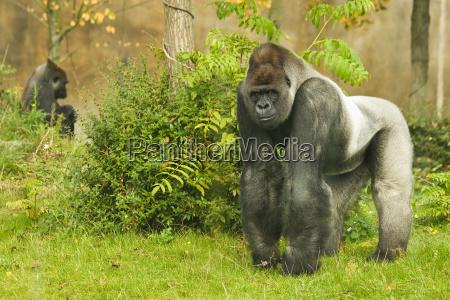 dyr gorilla taenkning