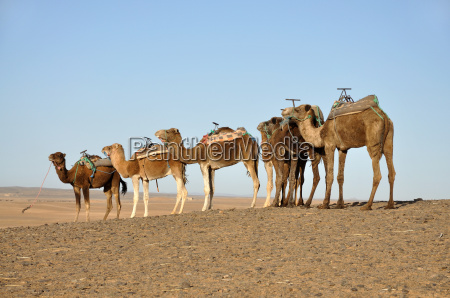 dromedaries in the sahara morocco