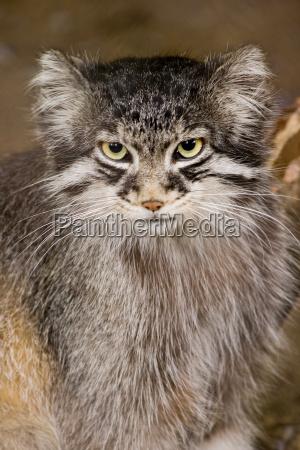 manul eller pallas kat