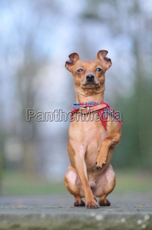 hund holdning vagthund gardhund pinscher