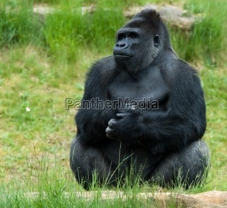 mandlige gorilla