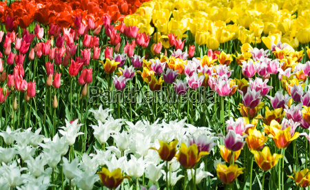tulips in mixed colors
