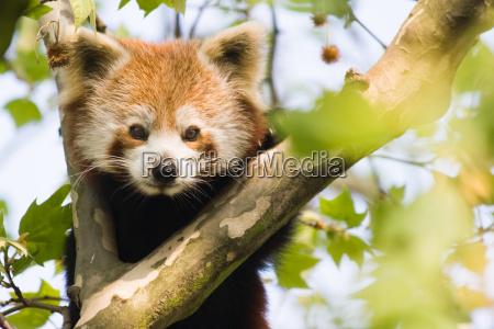 curious red panda