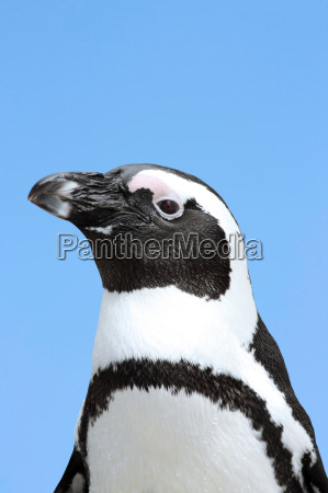 fugl dyr portraet fugle pingvin ornitologi