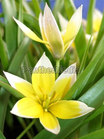blomst plante tulipan