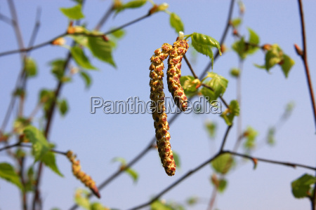 birke forar var pollen blomsterstov birk
