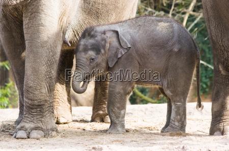 asian kvindelige elefantunge