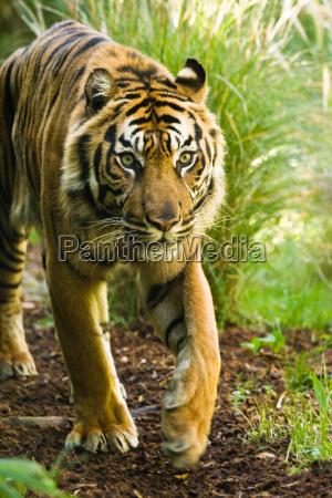 asiatiske tiger mandlige